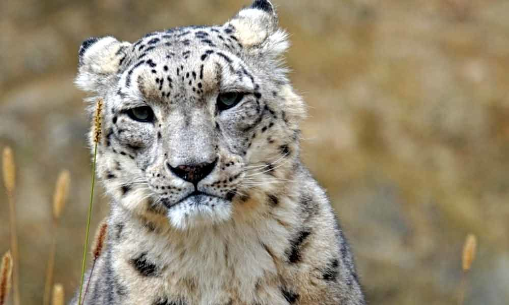 Prakash Javadekar urges countries to double snow leopard population