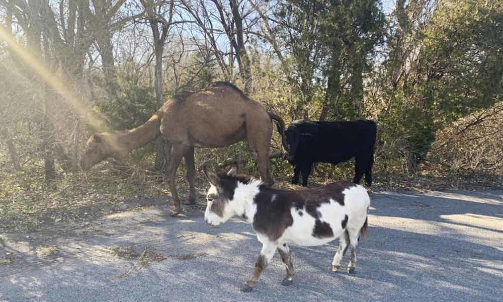 Unusual Friendship: Camel, cow and donkey found strolling together in Kansas