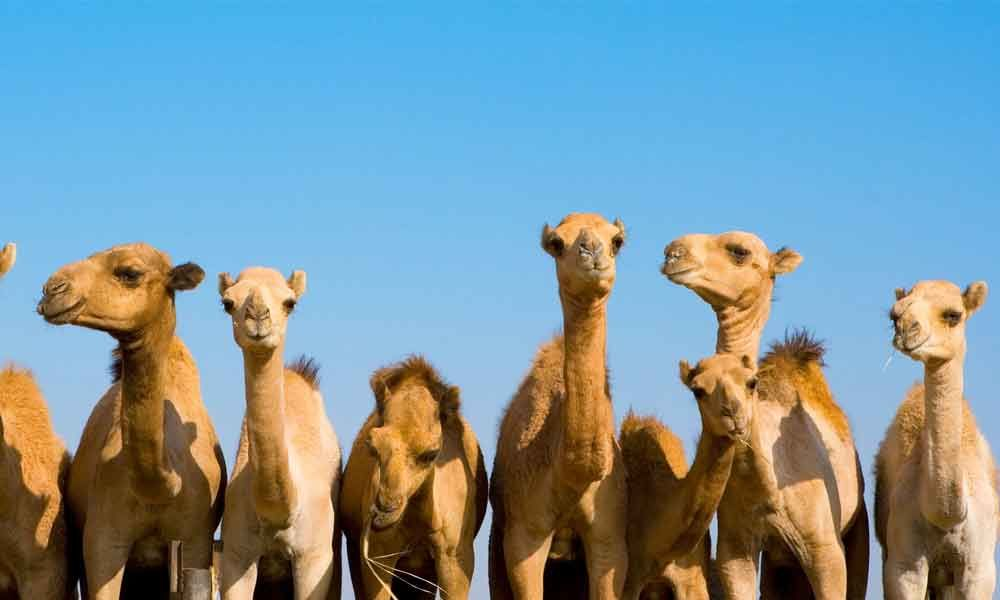 Sydney wildfire: 10,000 camels to be massacred for drinking too much water