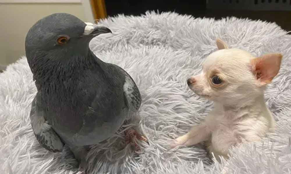 A puppy and a pigeon became Best Friends, They won The Heart of Netizens on Social Media