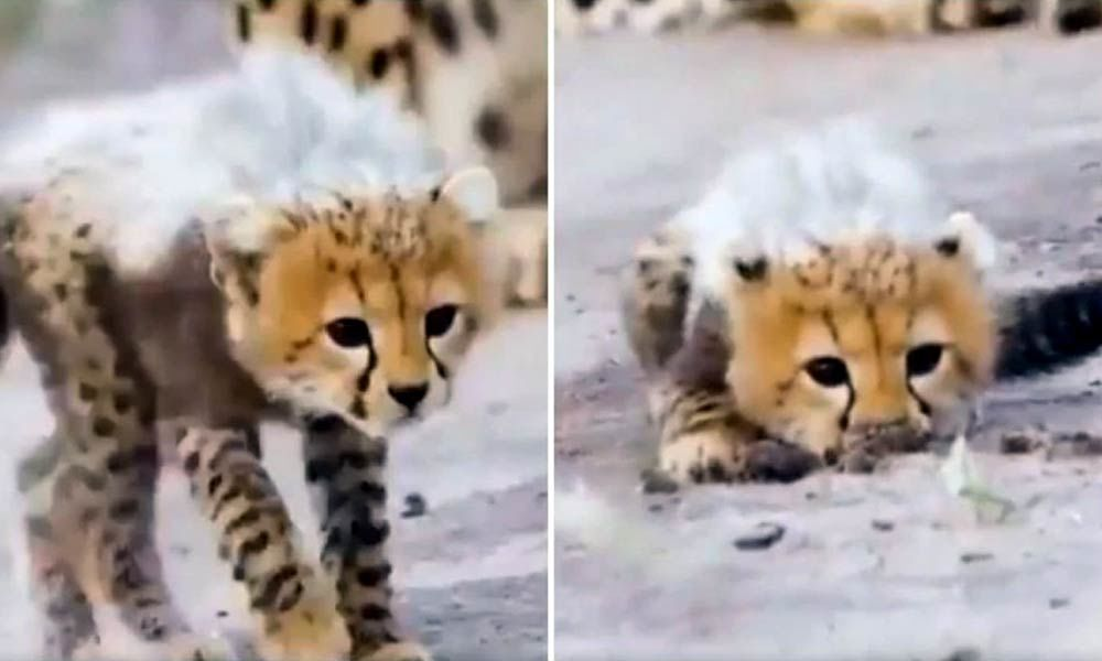 Viral Video: Cheetah cubs learn hunting skills. Internet says adorable and loving it