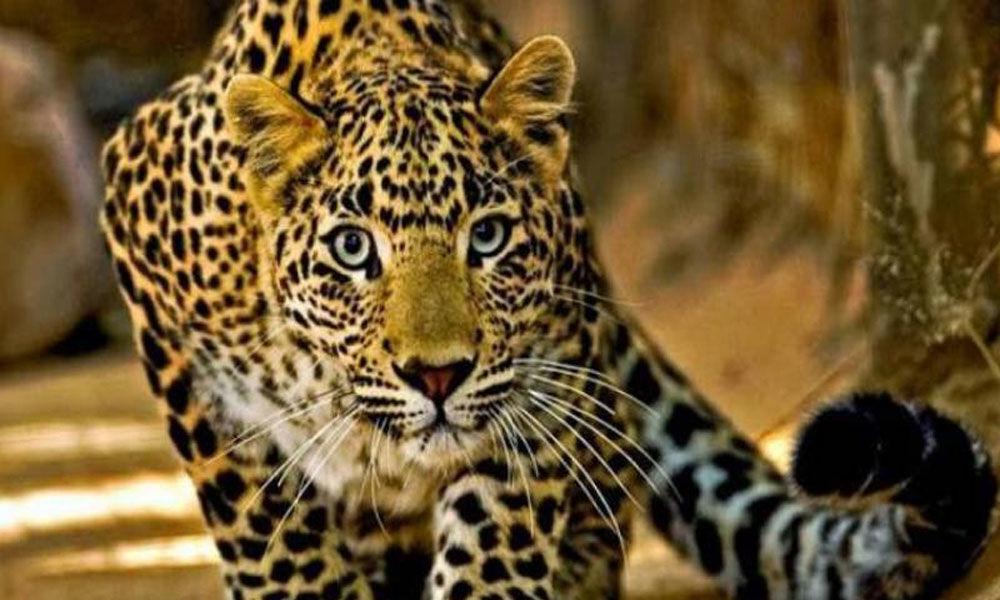 Maharashtra: 4-year-old girl killed by leopard in Nashik