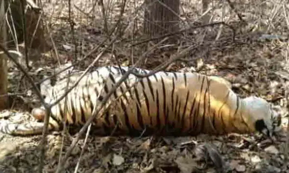 12-year-old tiger killed, eaten by another in Madhya Pradesh