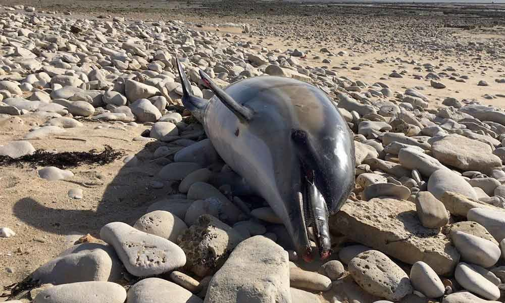 Extremely mutilated dolphin deaths in France cause fury