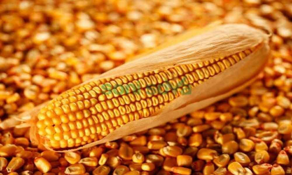 Government permits import of feed grade maize