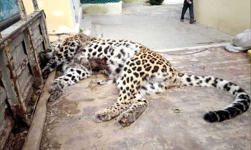 Leopard brutally beaten to death in UP