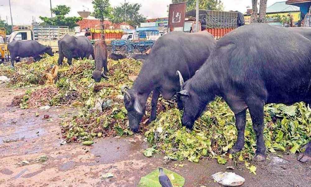 20 buffaloes die in Nagaland of unknown disease