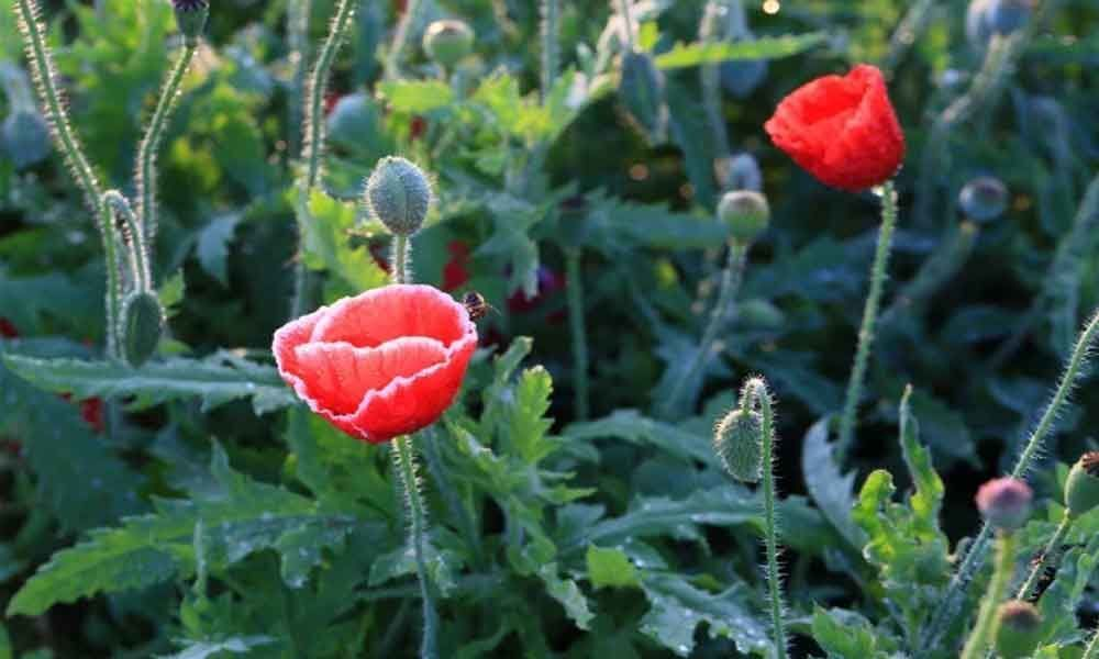 Poppy plants seized from UP village, one held