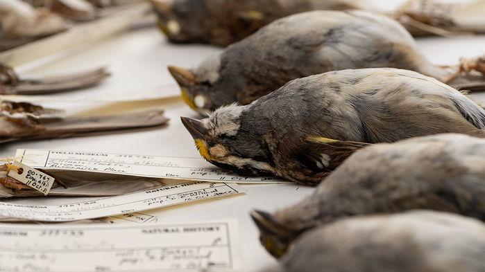 Tweeting while flying kills migratory birds