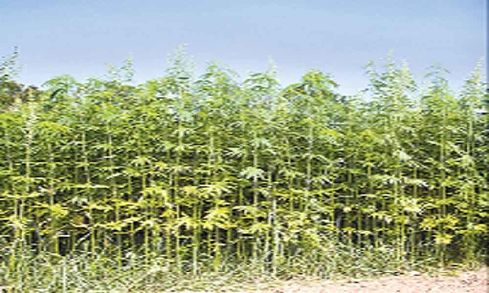 Move to popularise industrial hemp