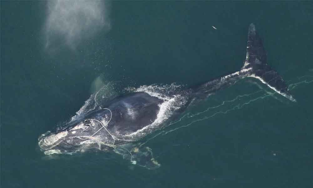 Lobster fishing endangers North Atlantic right whales