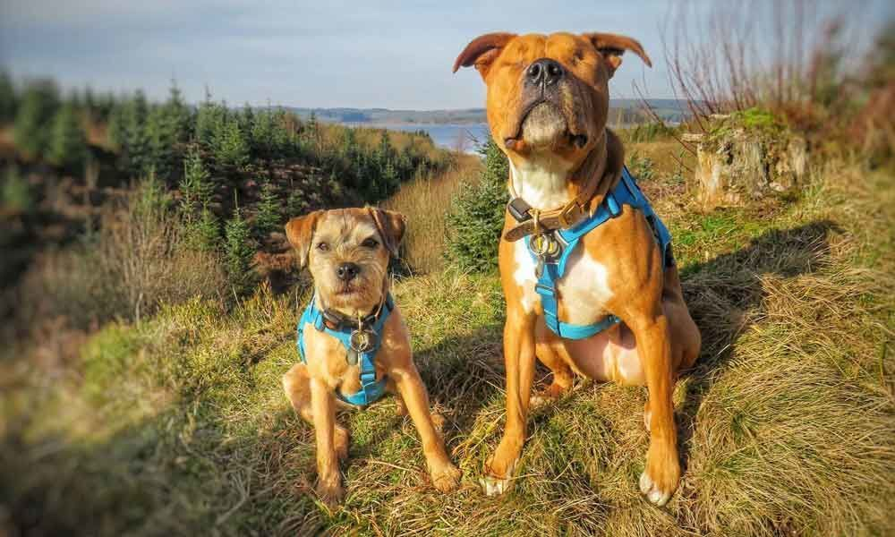 Blind staffie Amos has own guide dog who never leaves his side