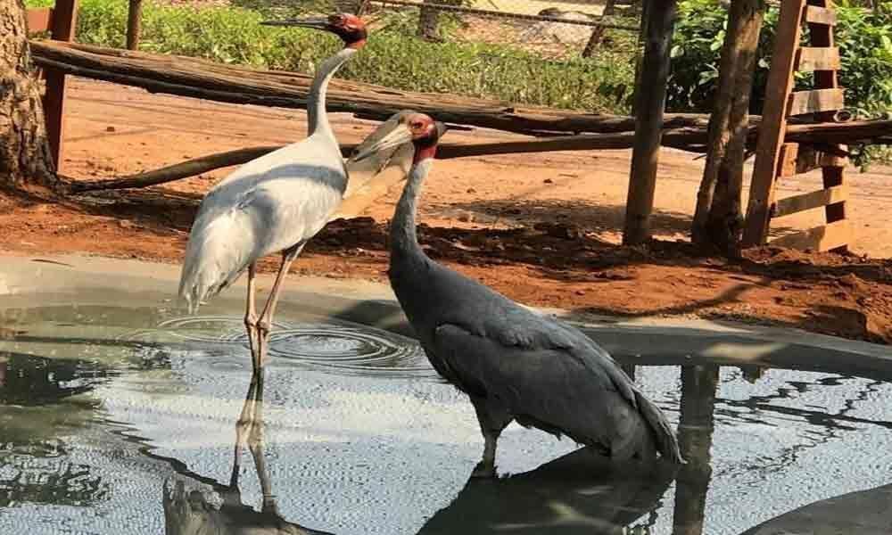 Sarus cranes released into enclosures at zoo
