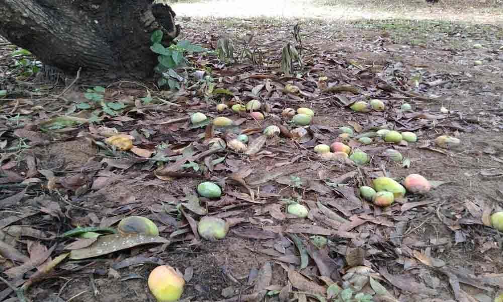 Strong gales damage banana, mango crops