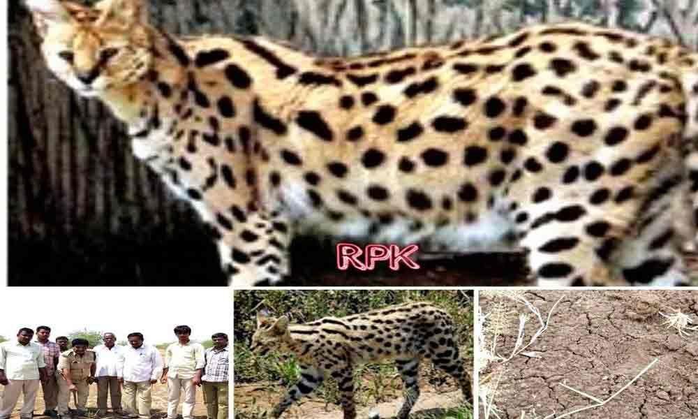 APCCF confirms animal on prowl as wild cat