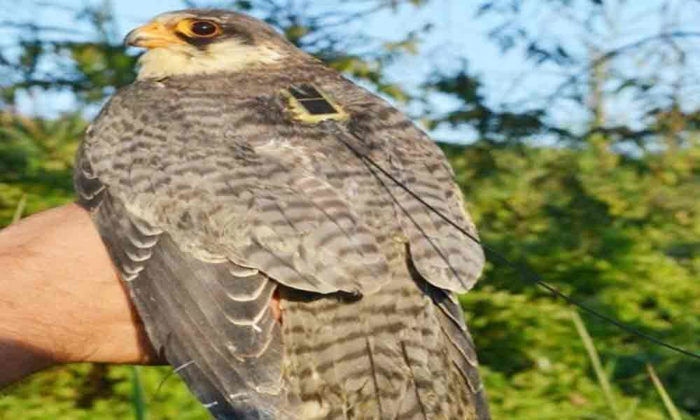 Falcon Longleng reaches northeast, joy in Naga Hills