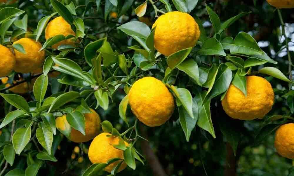 Water scarcity damages lemon gardens in Railway Kodur