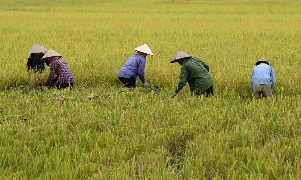 Asia Rice: Top hubs see muted activity