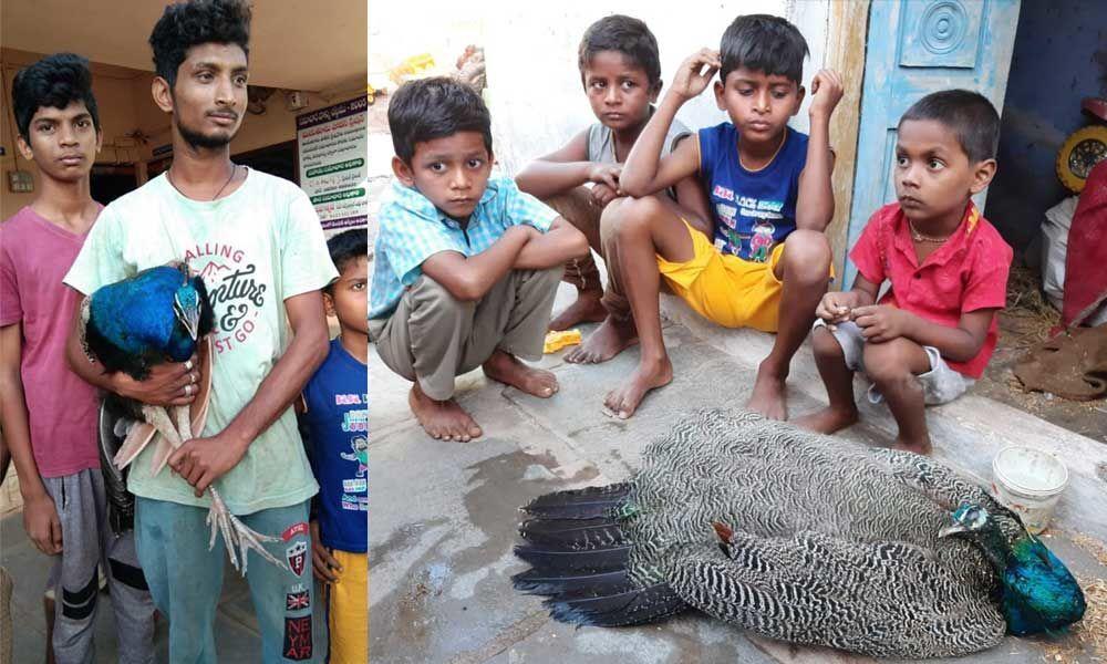 Villagers caught injured Peacock in Nandikotkur