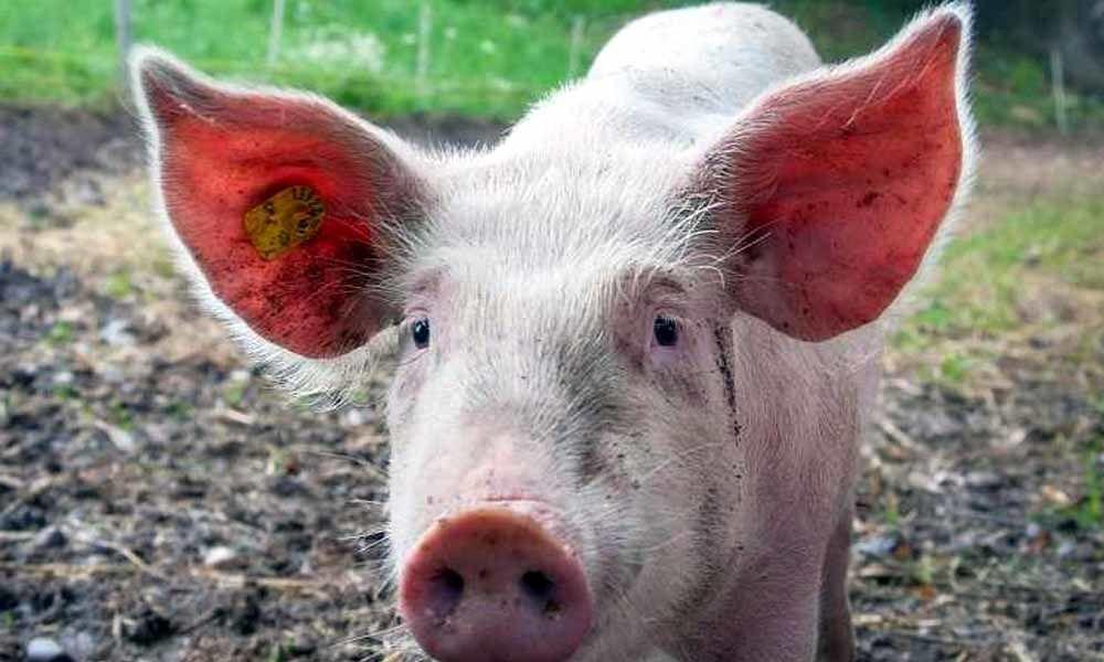Vietnam culls over 2.84 million pigs amid African swine fever spread