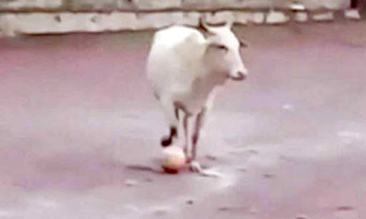 Video of cow playing football in Goa has left Twitterverse in splits