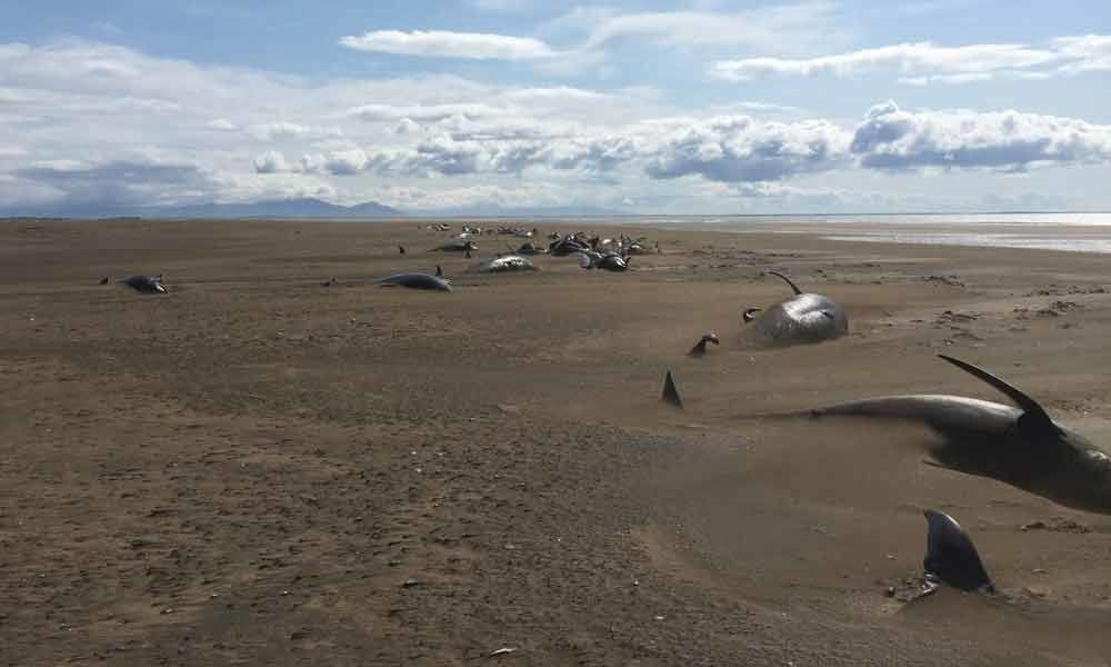 Pilot whales strand on Iceland beach in group of 50 or more