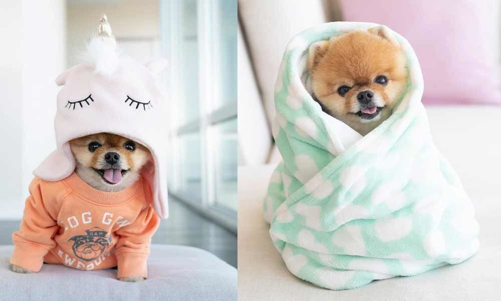 The Life of a Canine:  Meet Jiffpom, The Doggo Influencer, Make 12 Lakhs on Instagram While We Await Pay