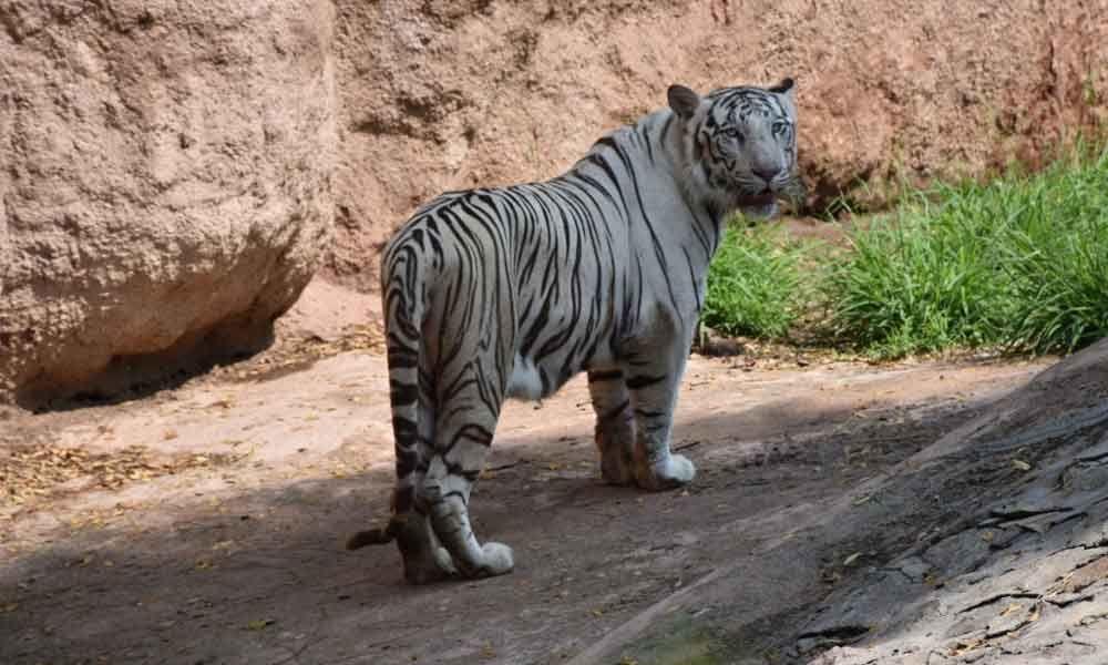 Bengal white tiger dies at age of 21