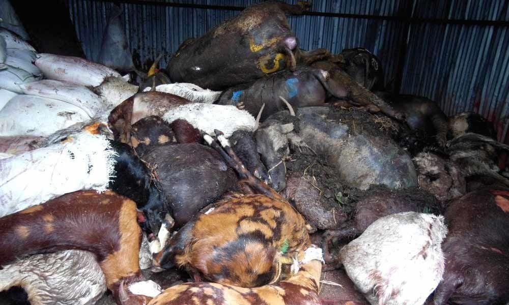 Ahead of Eid, PETA demands Mumbai slaughterhouse inspection