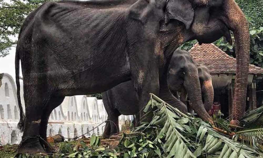 Sri Lanka probes elephant cruelty at Buddhist parade