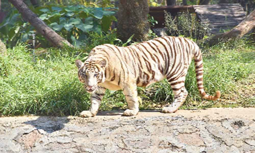 White tiger dies of tumour at zoo park