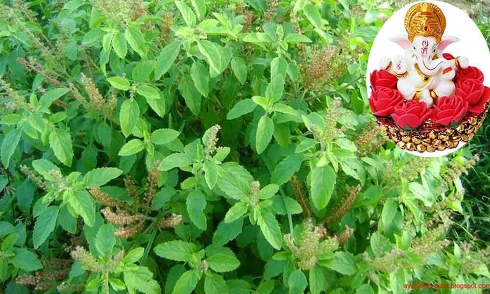 Why Tulsi (the holy Basil )  isnt offered to Lord Ganesha