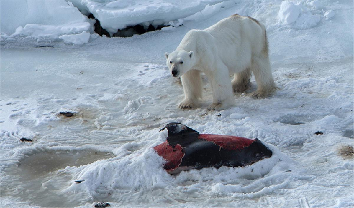 Global warming causes polar bears to eat dolphins