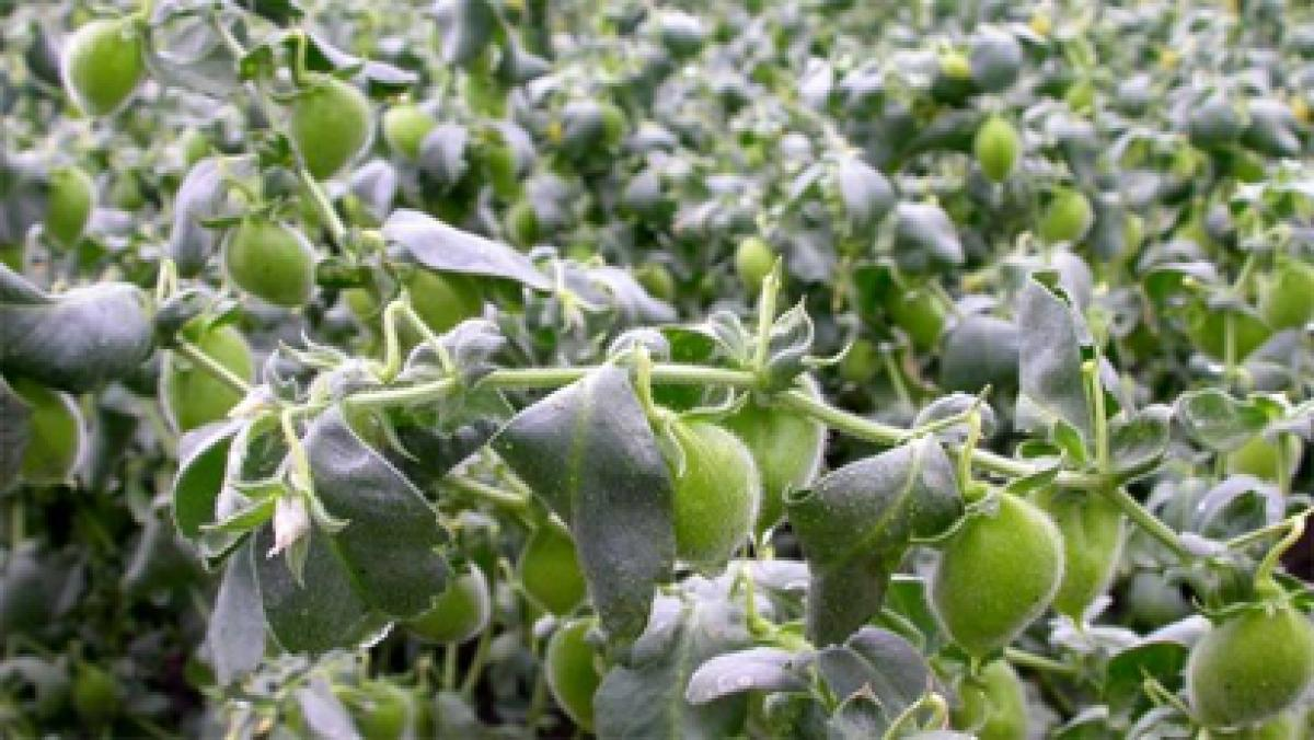First machine harvestable chickpea variety boon for Andhra Pradesh farmers