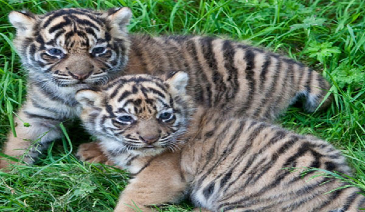 Amrabad ahoy! 2 tiger cubs spotted