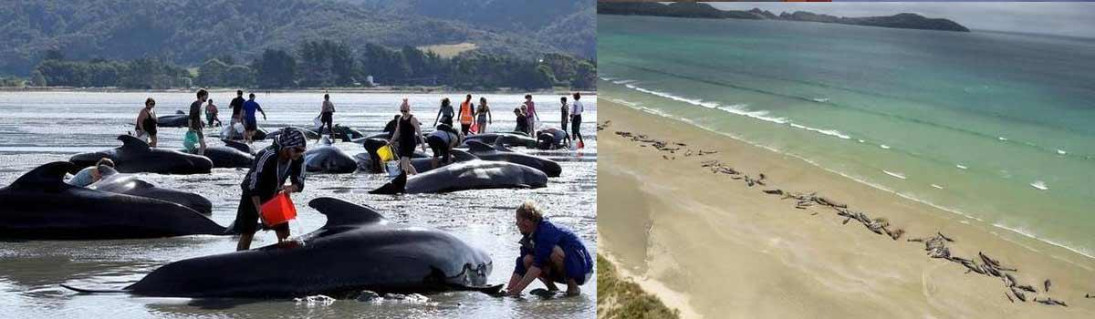 145 stranded pilot whales die in New Zealand