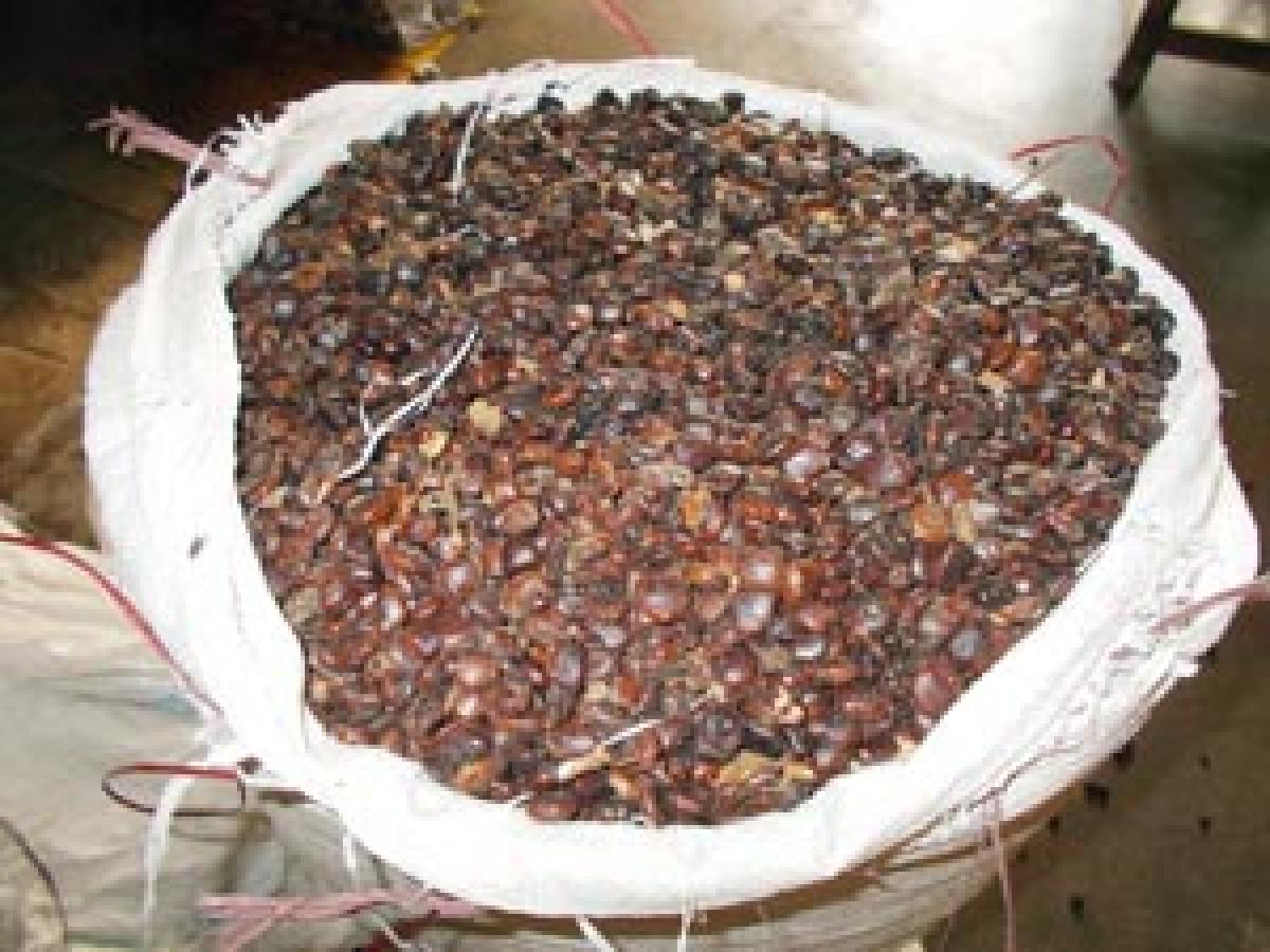 Tamarind seeds no more a waste