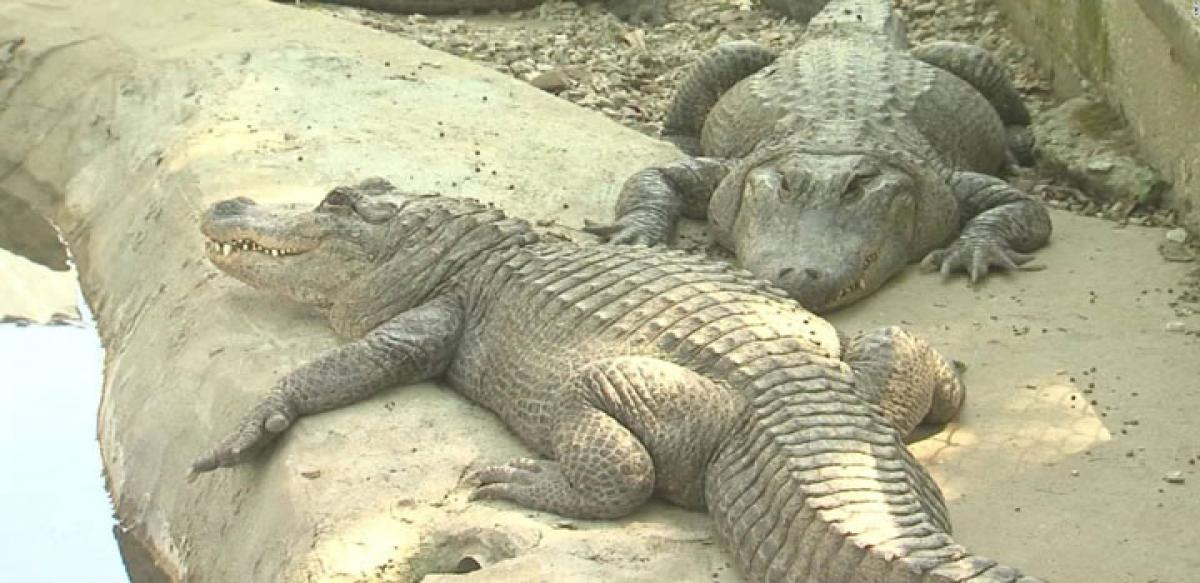Study shows how temperature determines sex in alligators