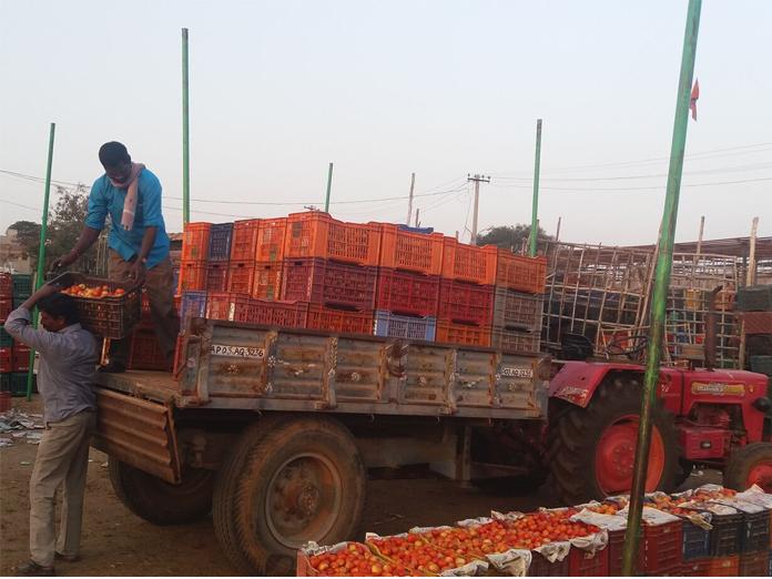 Sankranti brings smiles to tomato farmers
