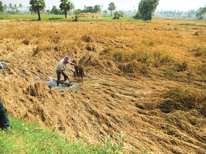 AP Govt to purchase discoloured paddy from today