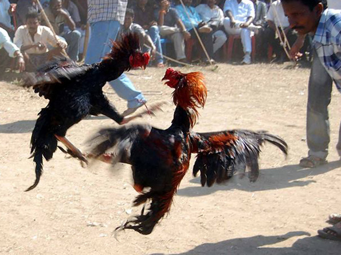 To punters delight, cockfights to be webcast live from Godavari districts
