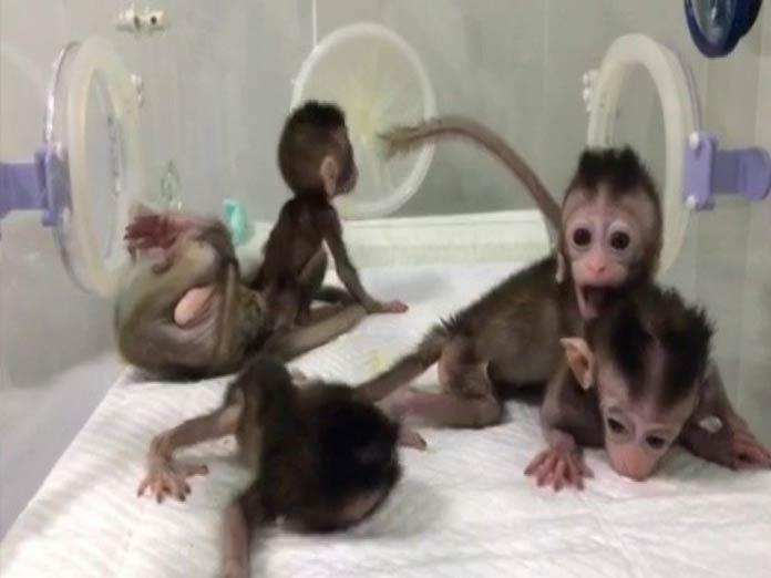 China clones five gene-edited monkeys for human disease research By K J M Varma