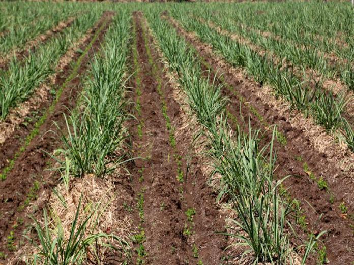 Internal crops to make sugarcane profitable