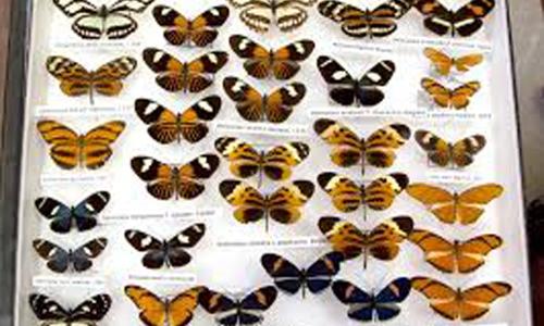 Collecting butterflies