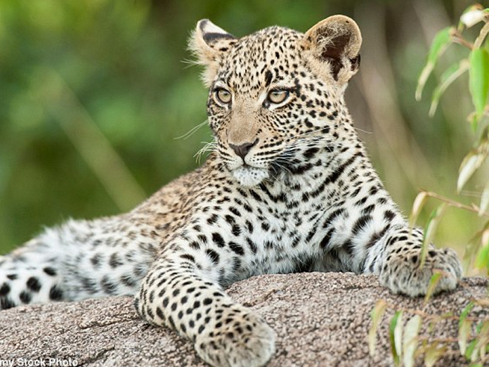 Five-year-old male leopard trapped and caught by the forest department
