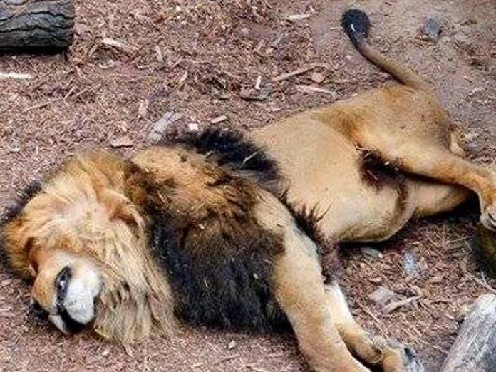 One more big cat dies in Gir region
