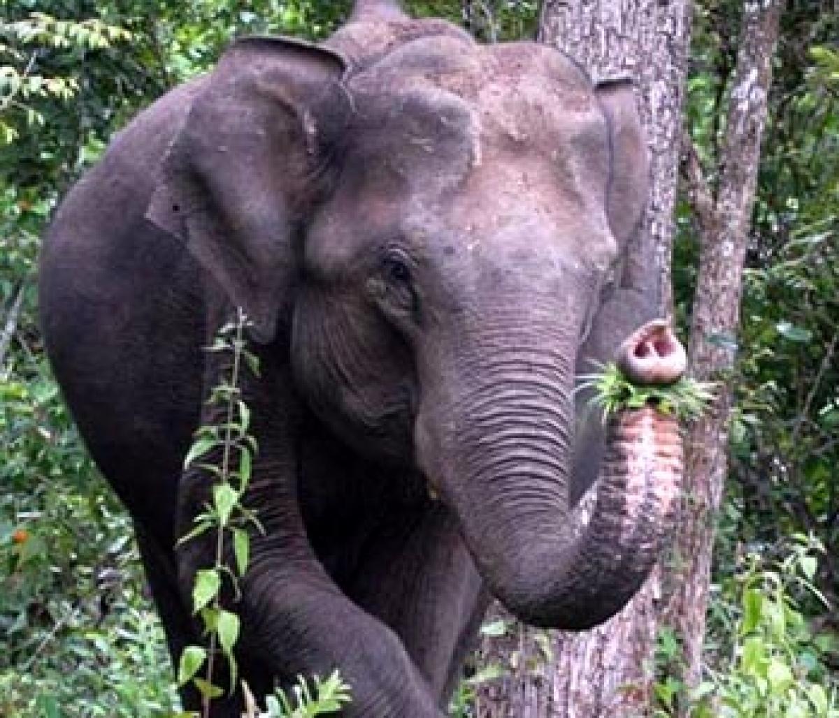Elephants trample woman to death in Meghalaya