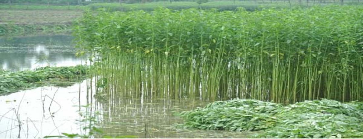 Jute cultivation on the rise in Srikakulam