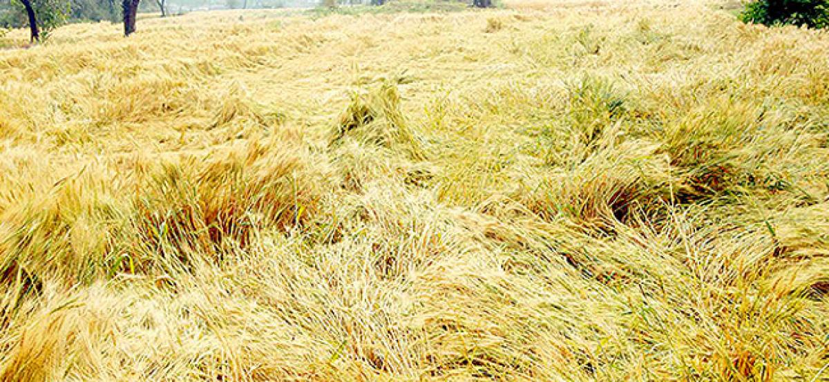 Standing Rabi crops damaged by heavy rains, hailstorm in UP