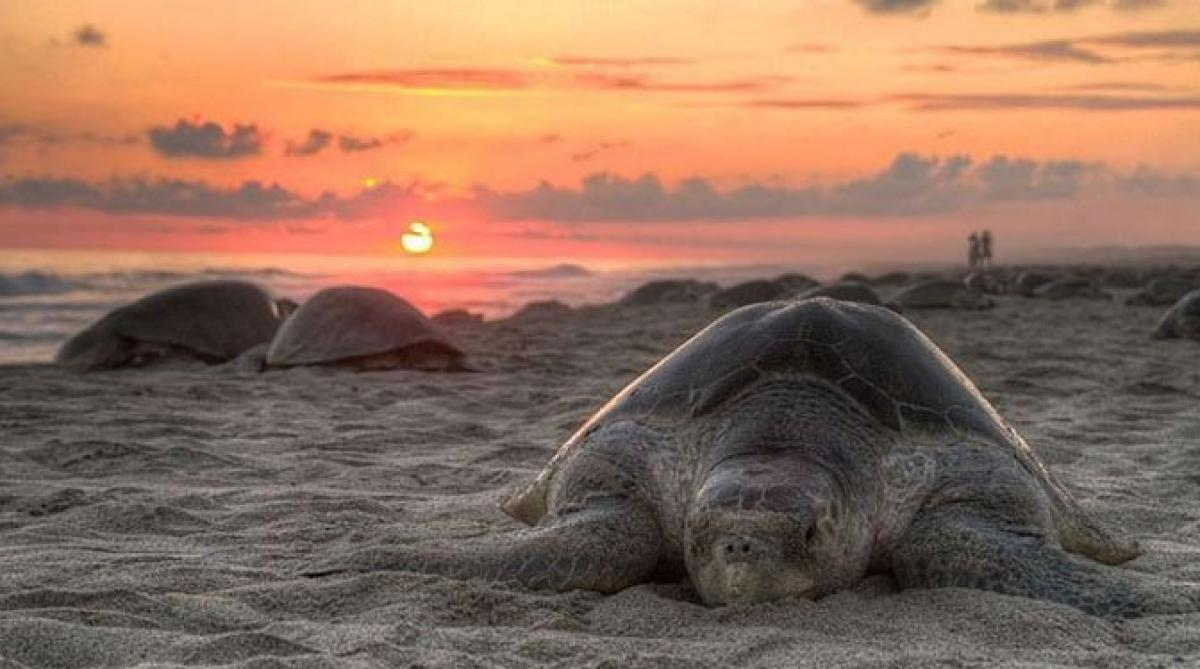 Odisha to protect endangered Olive Ridley turtles with fishing ban